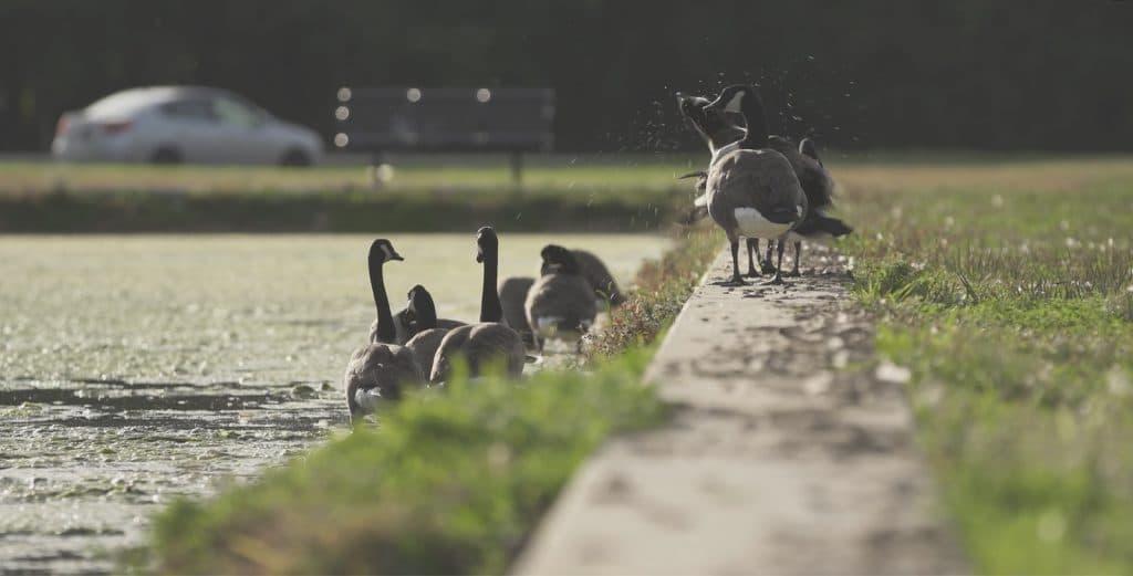 Goose Control Methods