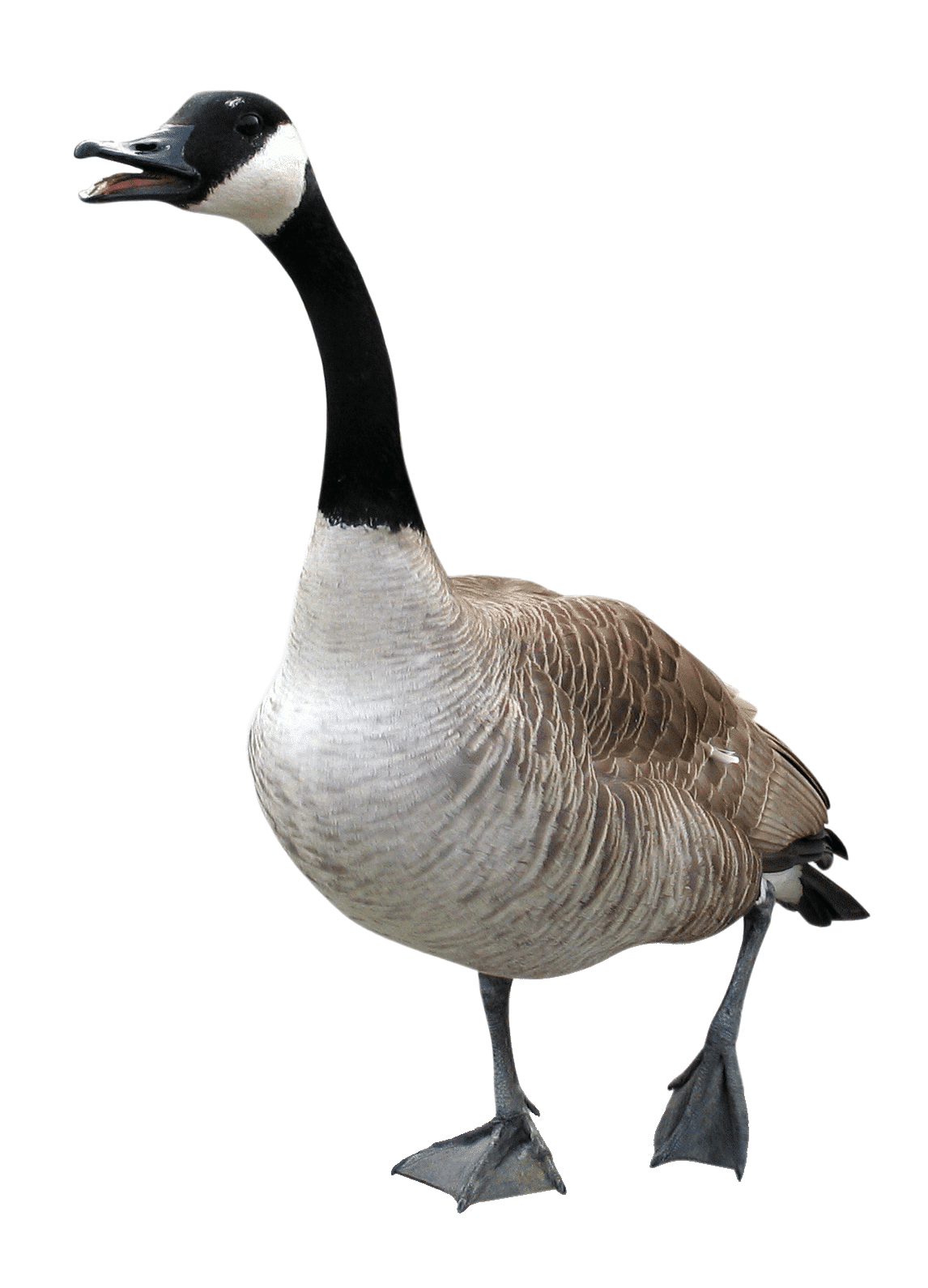 Goose Repellent Flight Control Plus How to Get Rid of Geese