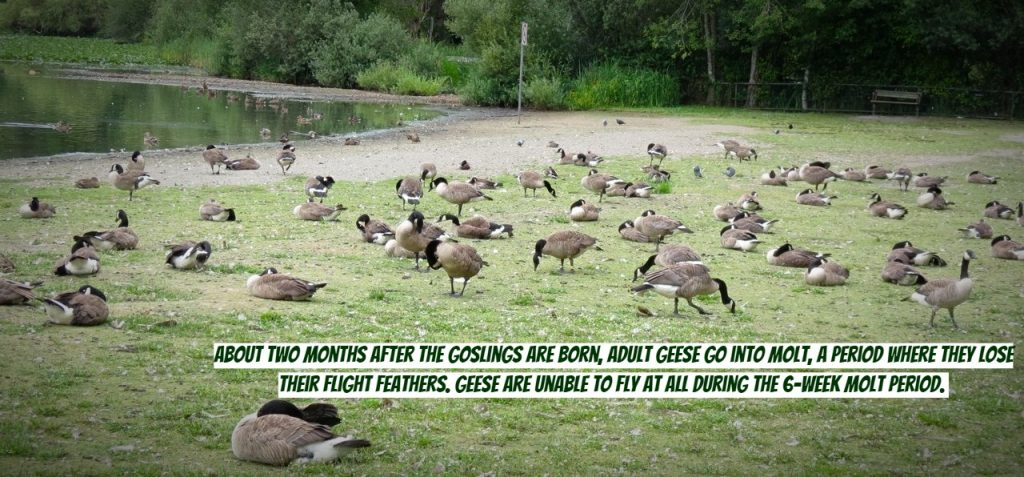 How to Get Rid of Geese