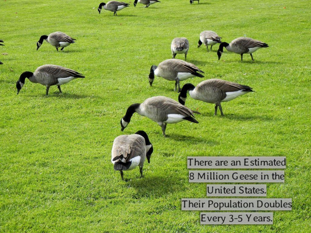 Eco-Friendly Goose Repellent